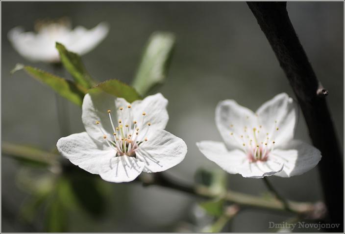 Сакура : Этот цветок трудно комментировать, он просто прекрасен, как и сама Весна. (Фотограф Дмитрий Новоженов)