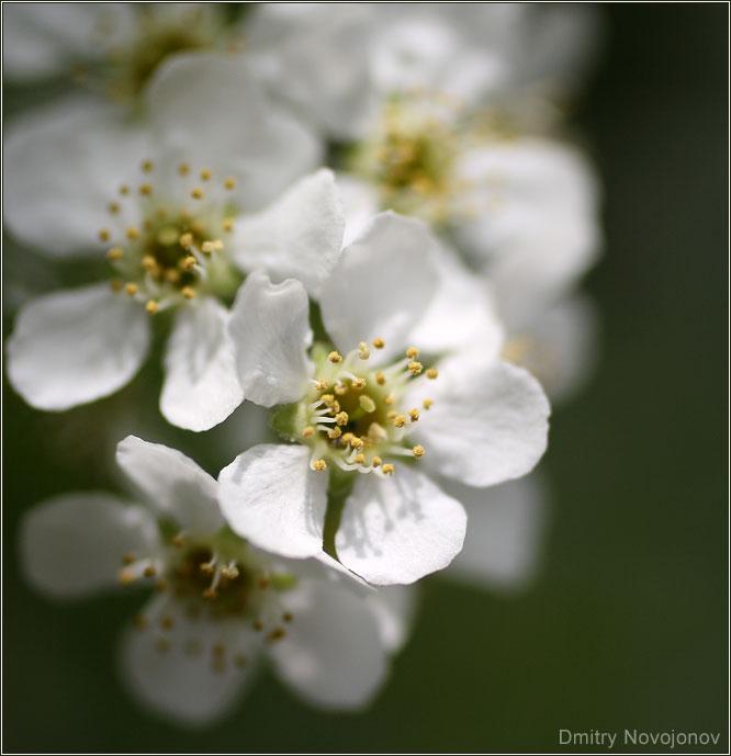 Один из многих : Это цветок - один из многих на ветке, на дереве, в мире. Но разве от этого он стал будничным? (Фотограф Дмитрий Новоженов)